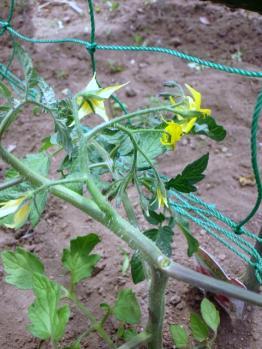 20120524ミニトマトの花