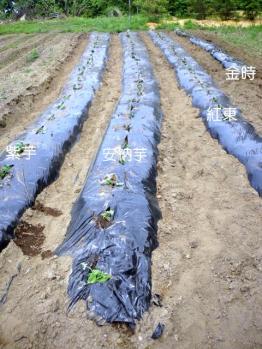 20120524サツマイモの植え付け