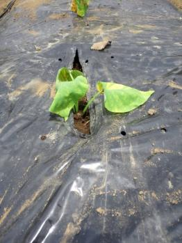 20120524紫芋植え付け