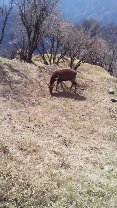 野生鹿草食