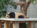 121118_動物園パンダ (3)