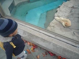 121118_動物園北極グマ