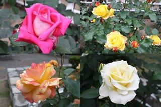 番の州公園の薔薇6