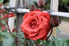 番の州公園の薔薇5
