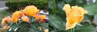 番の州公園の薔薇3