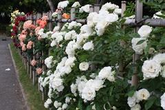 番の州公園の薔薇4