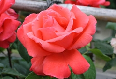 番の州公園の薔薇1