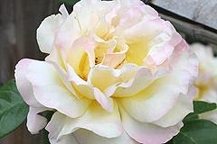 番の州公園の薔薇10