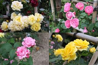 番の州公園の薔薇8