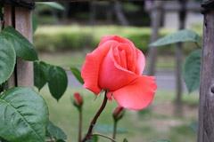 番の州公園の薔薇9