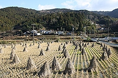 相川の稲わら干し1