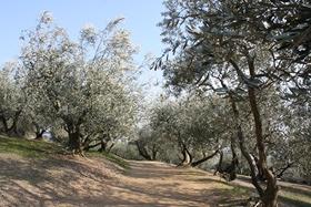オリーブ園11