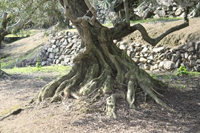 オリーブ園12