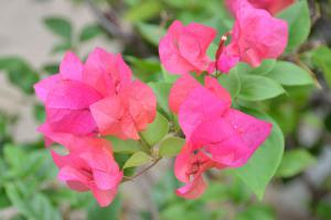 Bougainvillea Flowers For Everyone