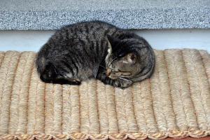 Singapore Cat Tabby