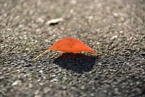 Kusunoki Leaf
