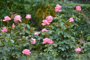 Autumn Roses (Pink Panther)