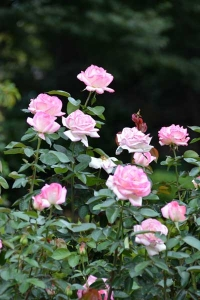 Autumn Roses (Princess de Monaco)