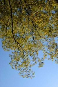 Kusunoki Foliage