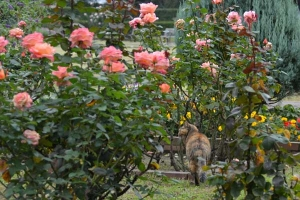 Cat and Rose Garden (Pink Panther)