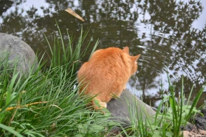 Cat Drinking The Pond Water