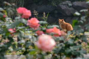 Tokyo Park Cat and Roses