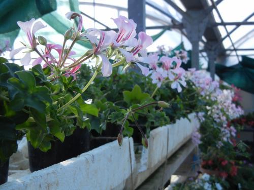 ivy geranium 1