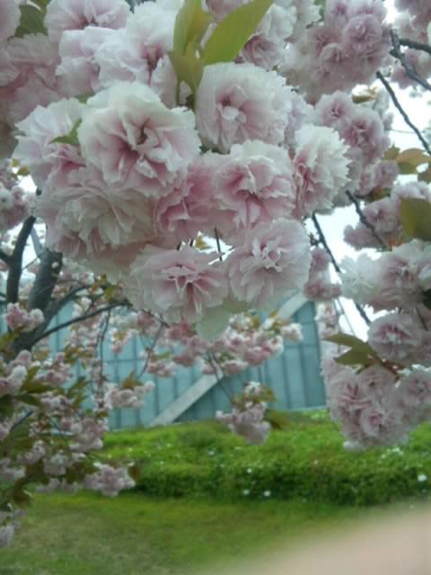狭山池の桜ですSH3J00430002