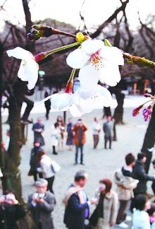 07年サクラ開花