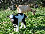 自分なりの判断のご紹介-牛柄ヤギ