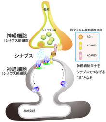 自分なりの判断のご紹介-LGI1たんぱく質複合体