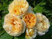 自分なりの判断のご紹介-黄色のバラ
