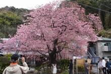 自分なりの判断のご紹介-河津桜