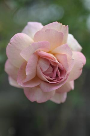 rose20141020-1.jpg