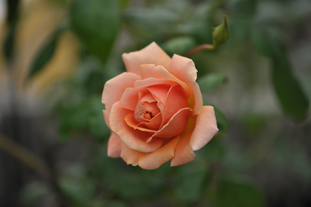 rose20141025-1.jpg