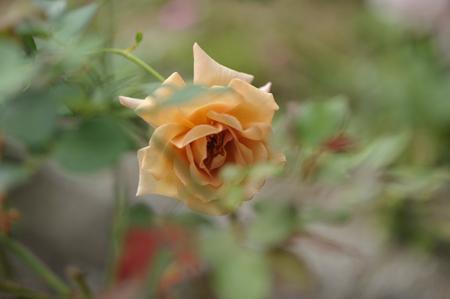 rose20141025-4.jpg