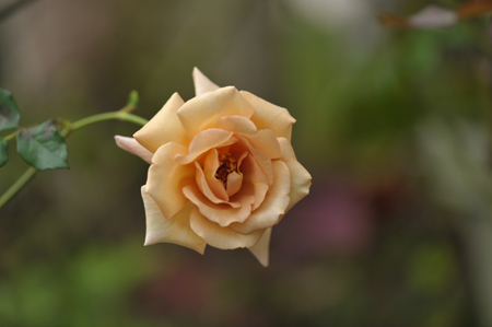 rose20141025-5.jpg