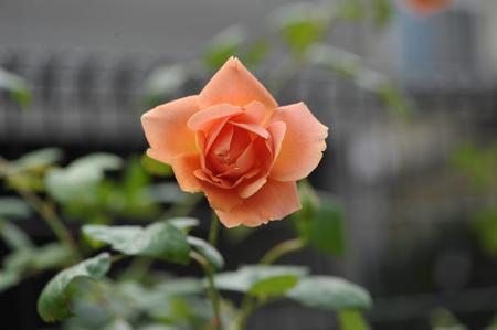rose20141025-6.jpg