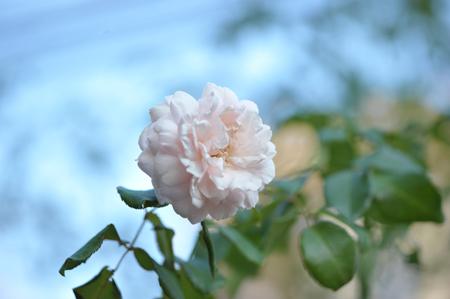 rose20141025-7.jpg