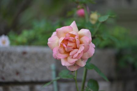 rose20141025-8.jpg