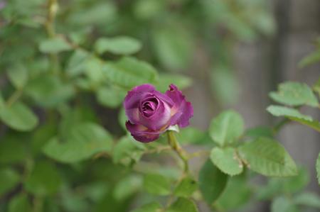 rose20141028-11.jpg