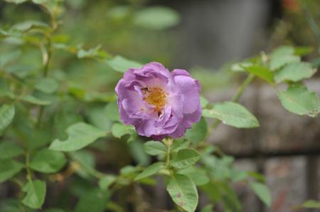 rose20141028-12.jpg