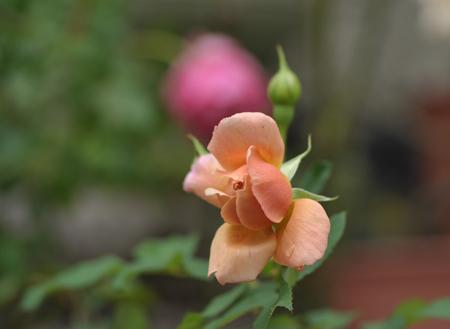 rose20141028-13.jpg