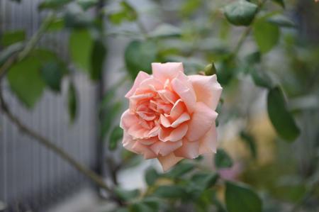 rose20141028-14.jpg