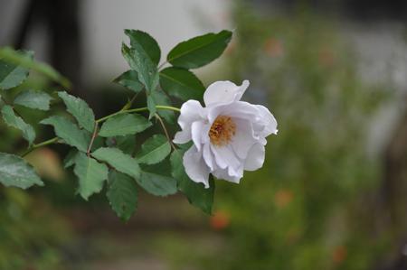 rose20141028-2.jpg