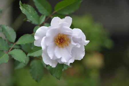 rose20141028-3.jpg