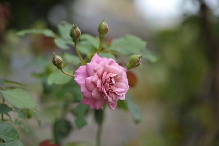rose20141028-4.jpg