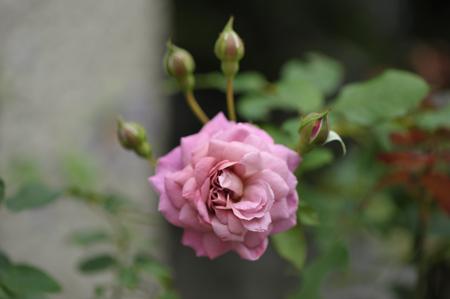 rose20141028-5a.jpg