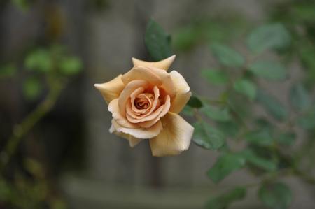 rose20141028-7.jpg