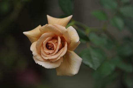 rose20141028-8.jpg